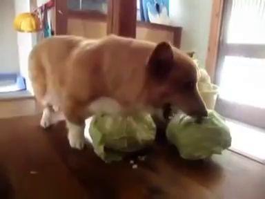 Корги обожает капусту или ненавидит
