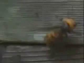 30 шершней против 30000 пчёл