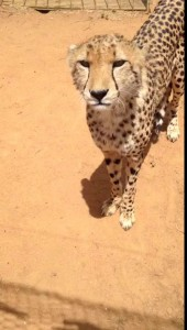 Как мяукает гепард