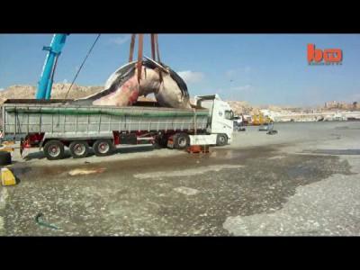 35-ти тонная самка кита