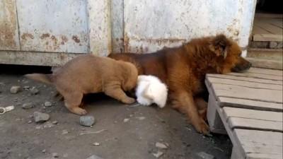Котёнок в собачьей семье
