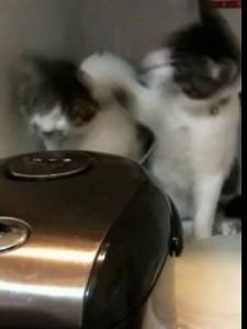 Два кота против рисоварки