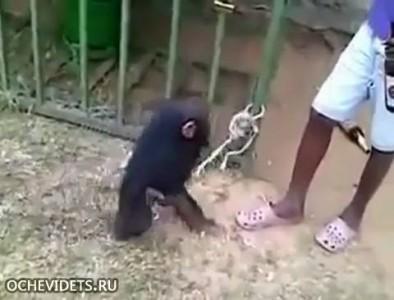 Арабы спаивают маленького шимпанзе