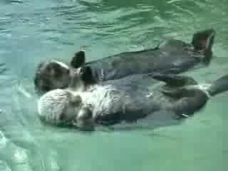 Каланы спят