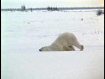 Пьяный белый медведь