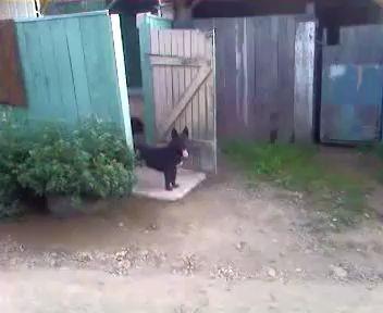 Собака дверь открывака