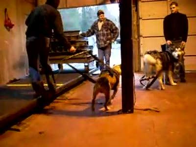 AAPBA Dog Weight Pulling