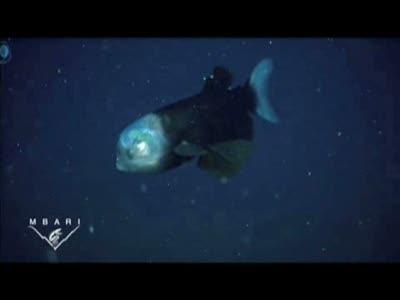 Бочкоглаз - рыба с прозрачной головой