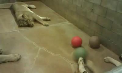 Изнуряющая тренировка львов