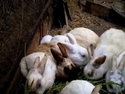 Фукусимский кролик без ушей