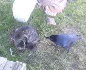Ворон и кошка