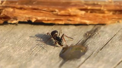 Как муравей пьет самогон