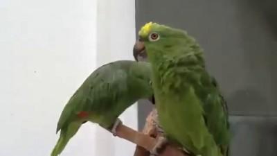 Пьяные попугаи поют песню