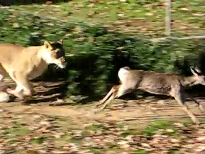 Baby deer escapes Lions at the National Zoo part 2