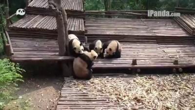Массовая драка панд