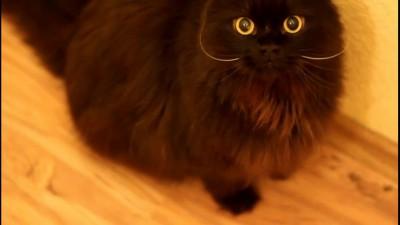 мамонт-кот