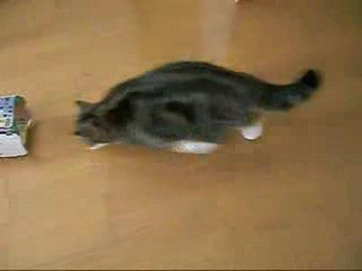 Кот играет с коробкой