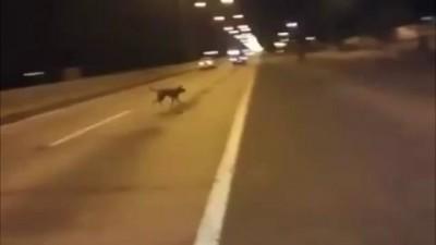 Perro chileno se teletransporta para no ser atropellado / Dog teleports out of nowhere (Original)