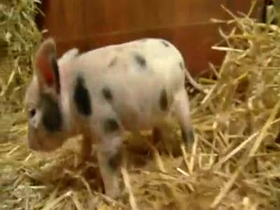 Adorable miniature pigs start new pet craze