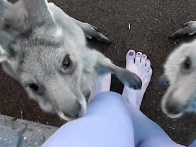 Чего же хотят кенгурята?