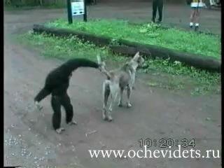 Наглая обезьяна