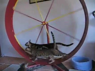 3 бенгальских кошки на колесе