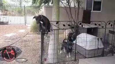 Собакен корячится