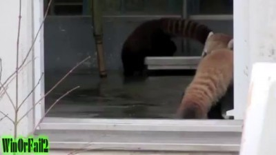 Red Panda Scared to Death