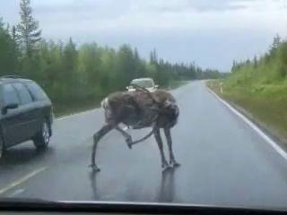 Как прогнать оленя с дороги!)