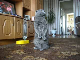 Дрессированный кот
