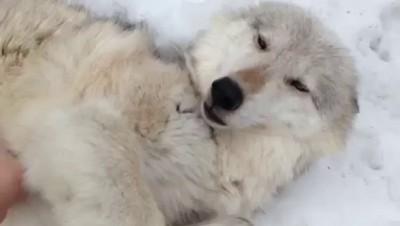 Волчица кайфуша