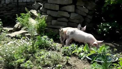 Свинки на выгуле