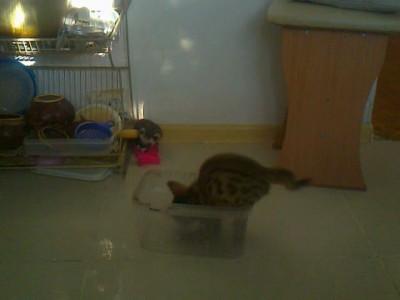 Хорек и бенгальский котенок играют