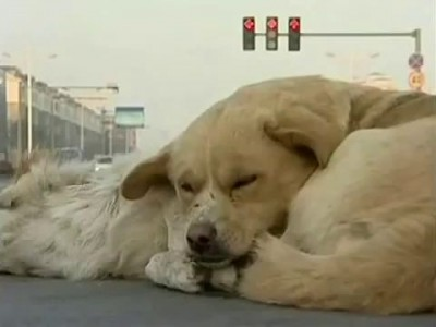 Сбита собака