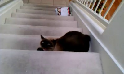 Злобный сиамский кот