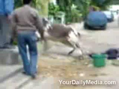 Кунг-Фу корова