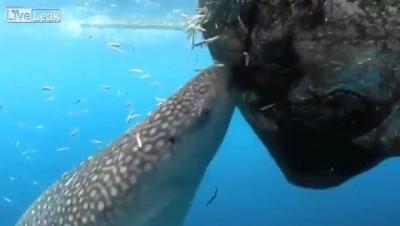 Китовая акула кушает