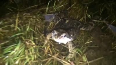 Огромное количество лягушек в пруду