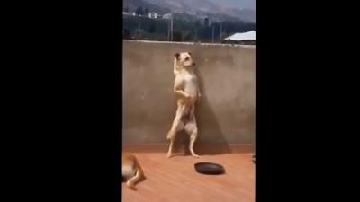 Собака рок-н-ролл танцевака INCROYABLE CHIEN GENIAL !!! AMAZING COUNTRY DOG AWESOME !!!!