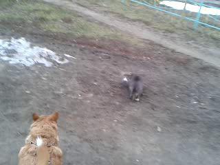 Дворовые котявки