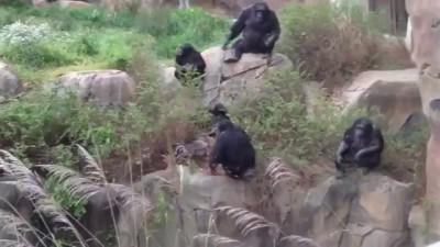 Обезьяны убивают енота || Monkeys kill raccoon