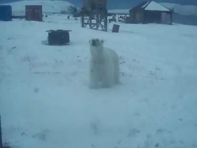Голодный Белый медведь