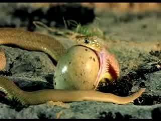 The snake eats an egg :о