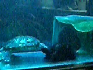 Черепах и керамическая черепашка