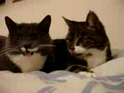 кошки балакають