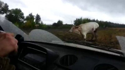 коровы мля