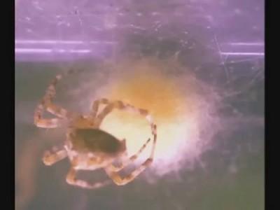 кокон паука Крестовика