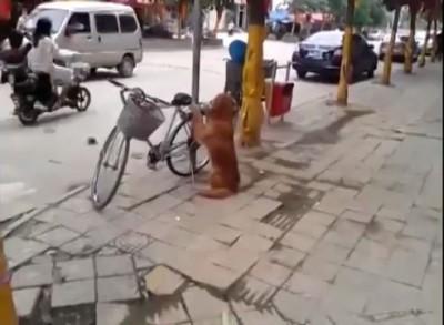 Верный пёс сторожит велосипед
