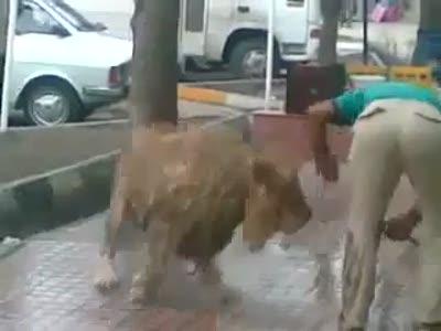 Купание льва на улице