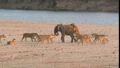 Слоненок сражается против 14 львиц